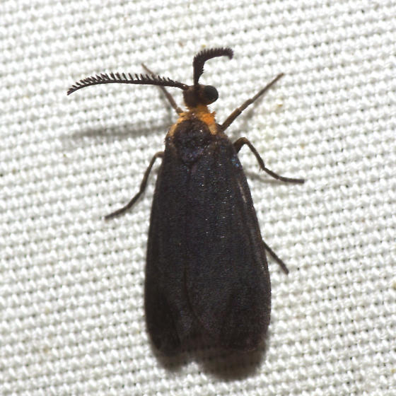 Clemens' False Skeletonizer Moth - Hodges #4629 - Acoloithus falsarius - male