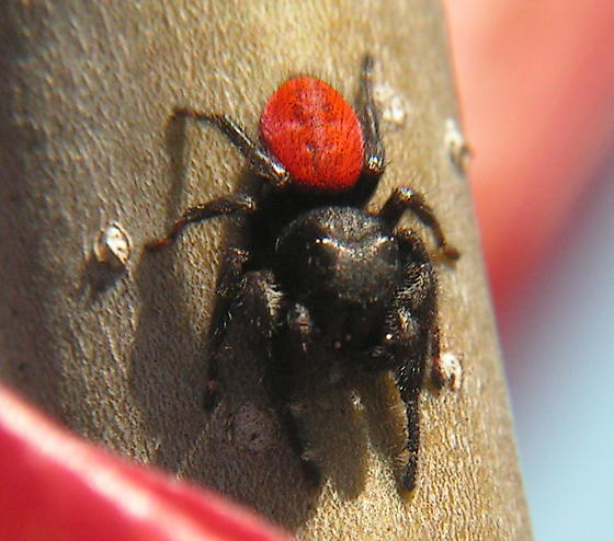 Phidippus johnsoni - male