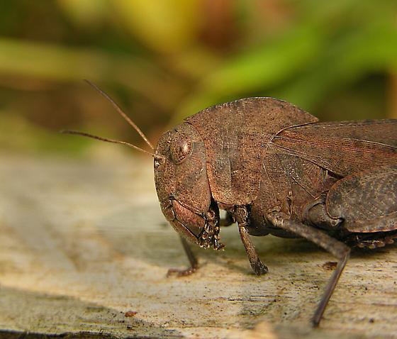 Grasshopper - Arphia xanthoptera - female