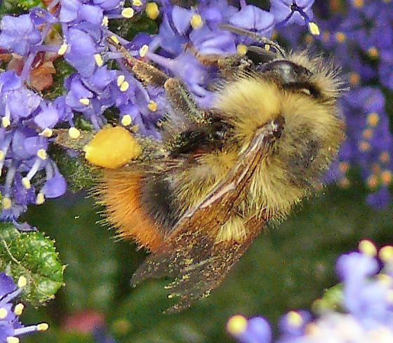 brown-tailed bumblebee on Ceanothus impressus - Bombus mixtus - female