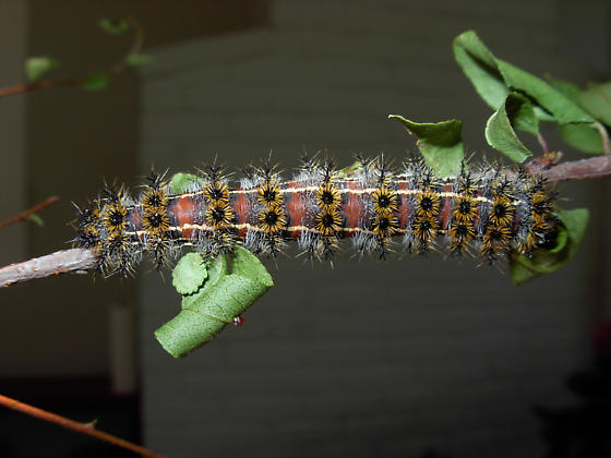 Hemileuca eglanterina shastaensis caterpillar - Hemileuca eglanterina