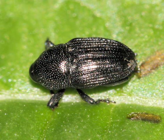 Snout beetle 1 - Baris