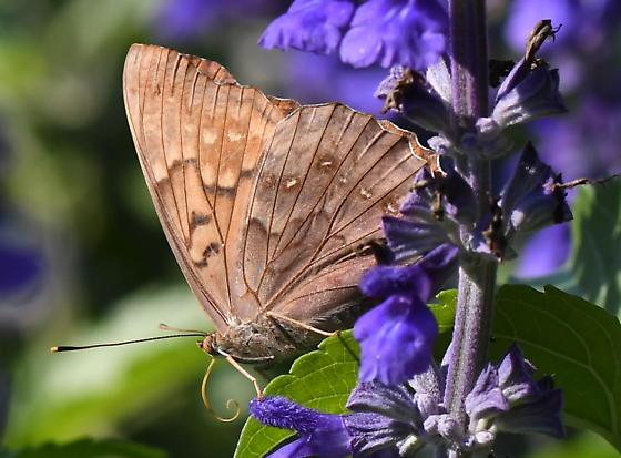 Fritillary Butterfly stray - Asterocampa clyton