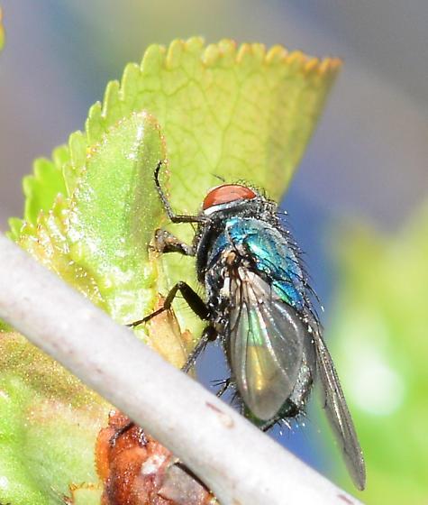 Blue bottle fly? - Lucilia