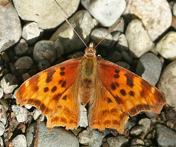 butterfly - Polygonia satyrus - female