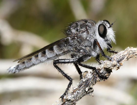 white-tailed Robber Fly - Promachus albifacies