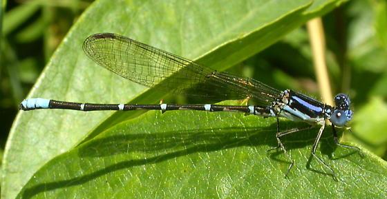 Blue-ringed Dancer - Argia sedula - male