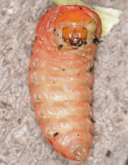 Yucca moth larva, ventral