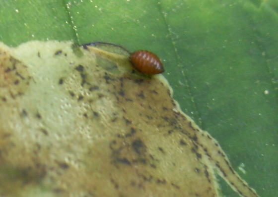 Leaf Miner Fly Pupa - Phytomyza aesculi