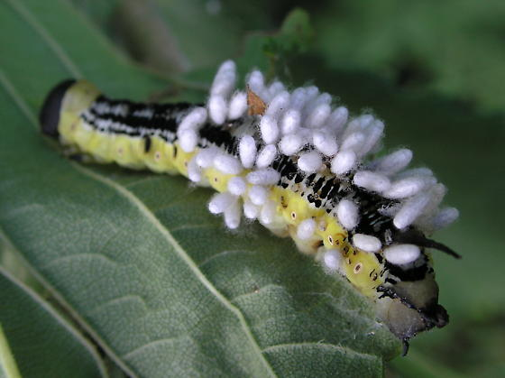 Parasitic Wasp Victim: Catalpa Moth - Ceratomia catalpae