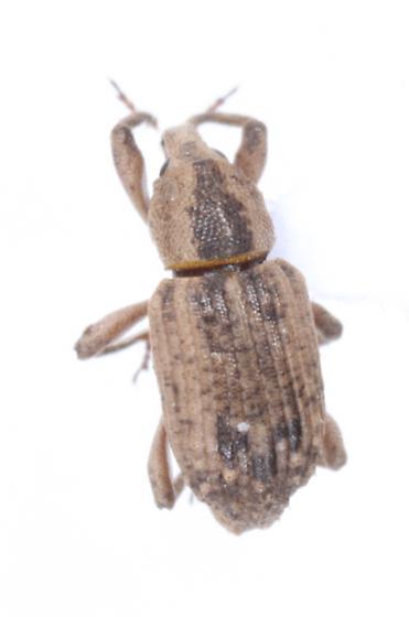 Lissorhoptrus oryzophilus
