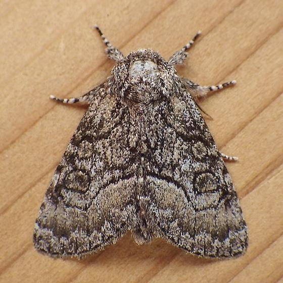 Noctuidae: Raphia frater - Raphia frater