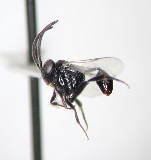Hyptia floridana