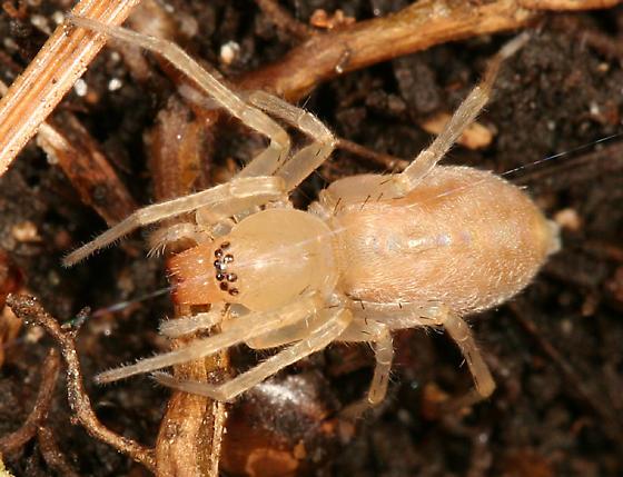 white spider - Clubiona