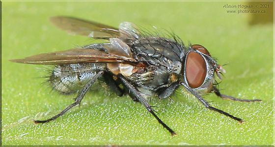Oestroidea ? - Pollenia - male