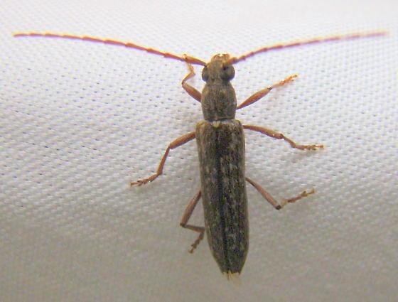 Anelaphus parallelus NJ June - Anelaphus parallelus