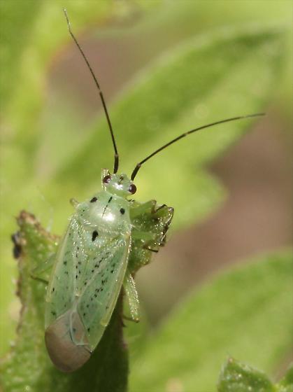 Green Plant Bug (Ilnacora sp.)? - Ilnacora
