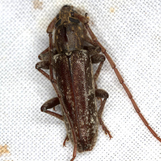 Anelaphus debilis (LeConte) - Anelaphus debilis