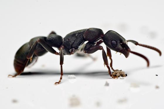strange ant - Platythyrea punctata