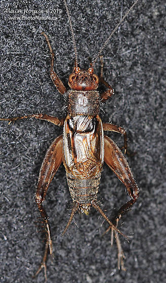 Gryllidae - Allonemobius - male