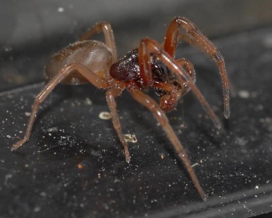Little red spider - Trachelas - male