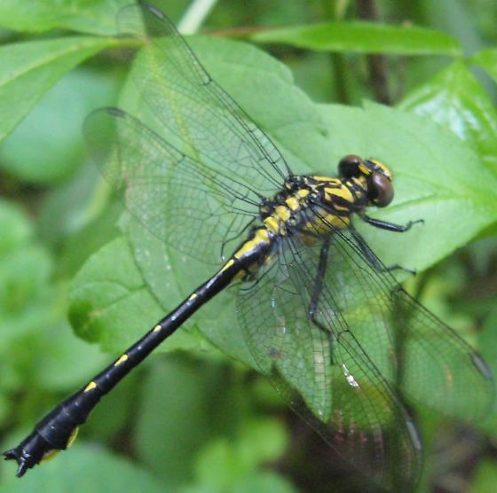 Clubtail Dragonfly - Gomphus sp. - Hylogomphus viridifrons