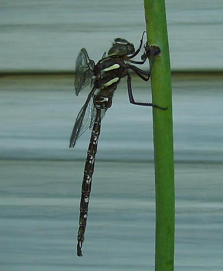 Family Aeshnidae?-shadow darner - Aeshna umbrosa - male