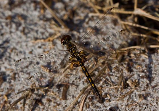 Dragonfly ID Help Please - Celithemis ornata