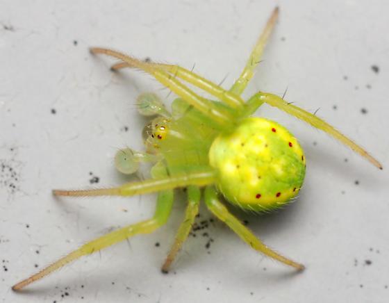 six-spotted orb weaver - Araneus cingulatus - male