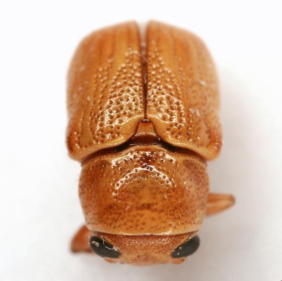 Pachybrachis xantholucens Fall - Pachybrachis xantholucens