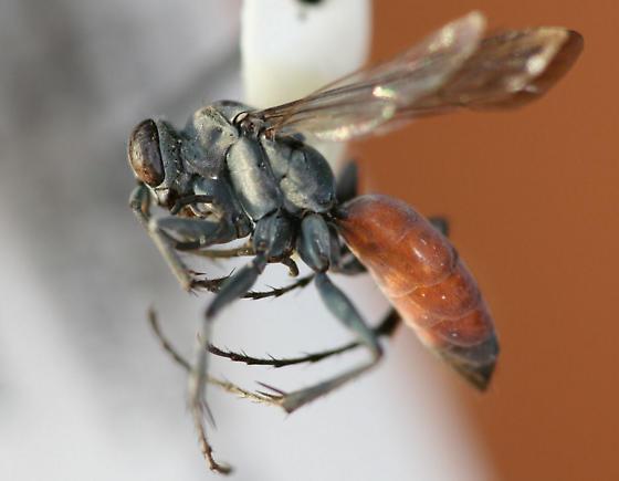 Xero-like female - Anoplius apiculatus - female
