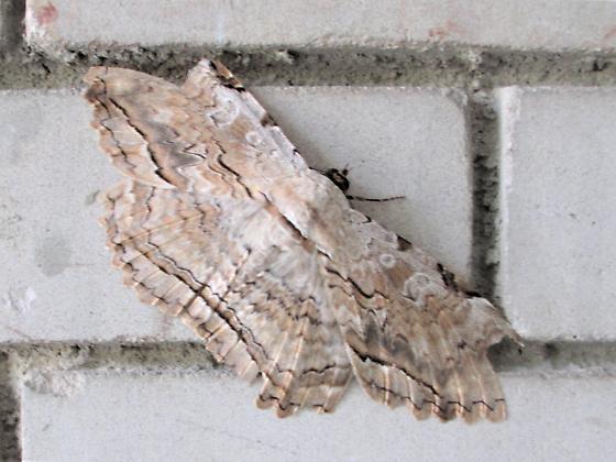 Thysania Zenobia       Owl Moth - Thysania zenobia