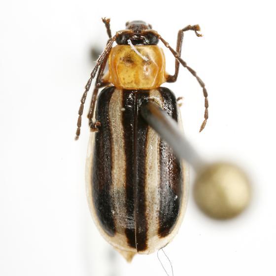 Acalymma blandulum (LeConte) - Acalymma blandulum