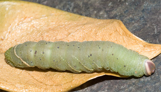 Large Fat Green Caterpillar - Pachysphinx modesta