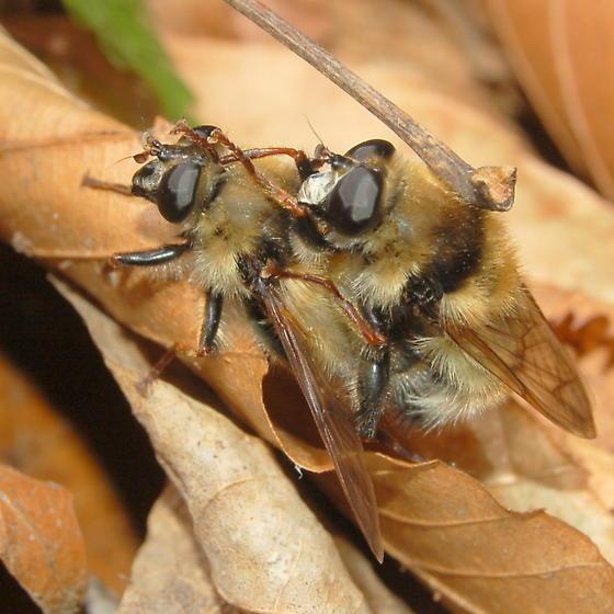 Mating beelike flies - Criorhina verbosa - male - female