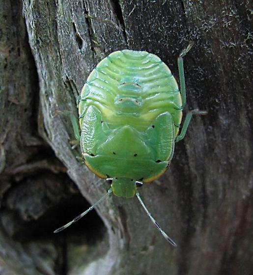 Chinavia hilaris (Green Stink Bug) - Chinavia hilaris