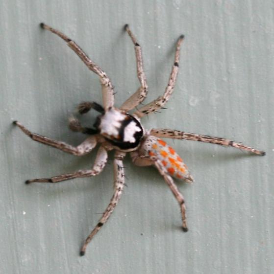 Orange Spotted Spider - Paramaevia poultoni