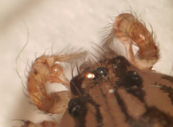 spitting spider, male palps - Scytodes thoracica - male