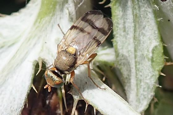 Diptera - Urophora - male