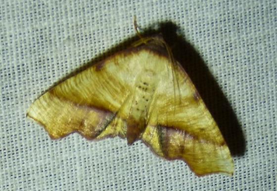 Eulithis diversilineata or gracilineata  - Plagodis fervidaria - male