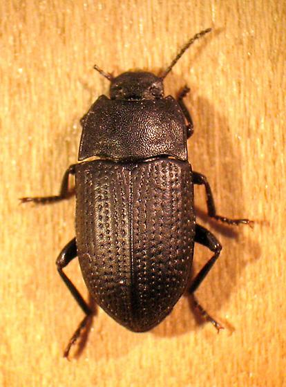 teneb - Alaetrinus minimus