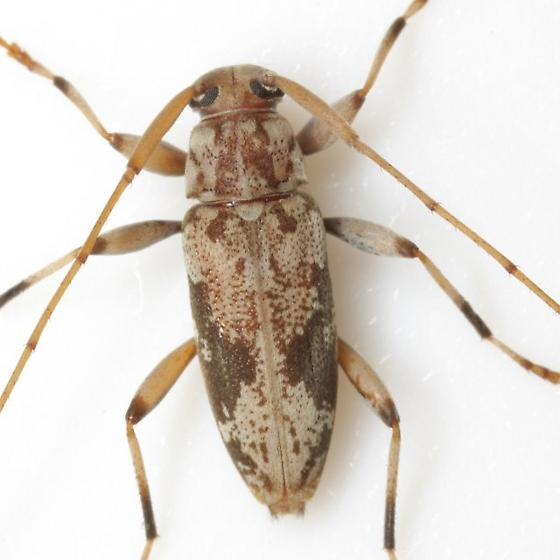 Lepturges angulatus (LeConte) - Lepturges angulatus