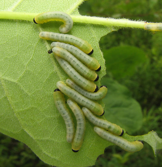Sawfly larvae on ash tree - Tethida barda