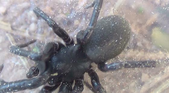 Not a Trapdoor Spider - Shaded Comparison Image - Plectreurys - male