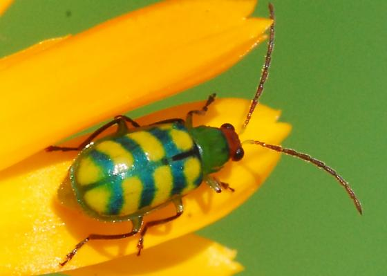 Banded cucumber beetle for California in June - Diabrotica balteata