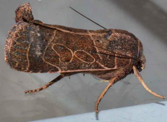 Moth - Orthodes majuscula