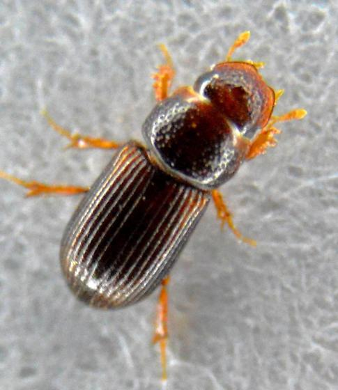 Very Small Beetle - Platytomus