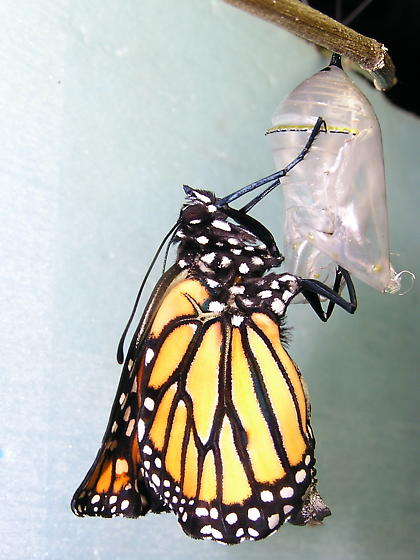 Monarch emergence - Danaus plexippus - male