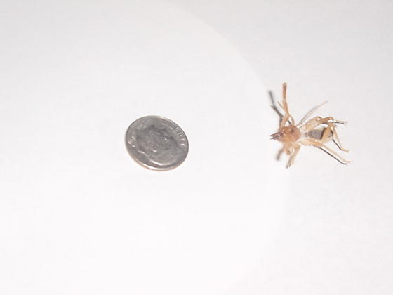 Please help ID this Spider/Scorpion critter.