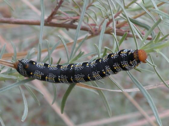 Caterpillar on Zauschneria californica - Hyles lineataHyles Lineata Caterpillar